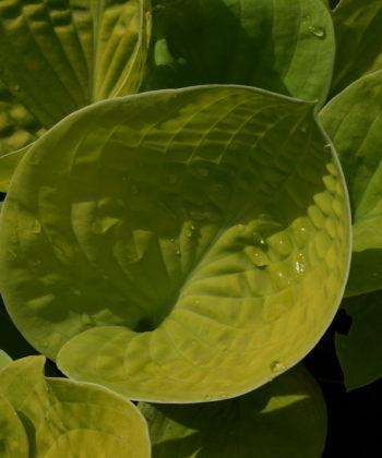 Die Hosta 'Maui Buttercups' ist mittelgroße Sorte.