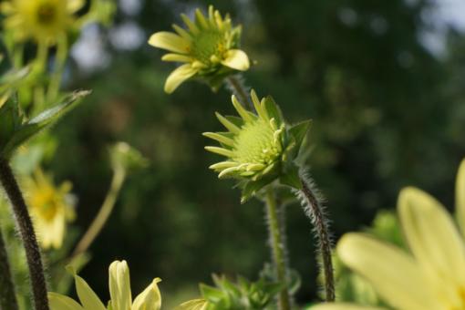 Knospen der Wildstaude Silphium mohrii CW2016172. Die Pflanzen werden deutlich höher als die bisherigen Pflanzen in der Gartenkultur.