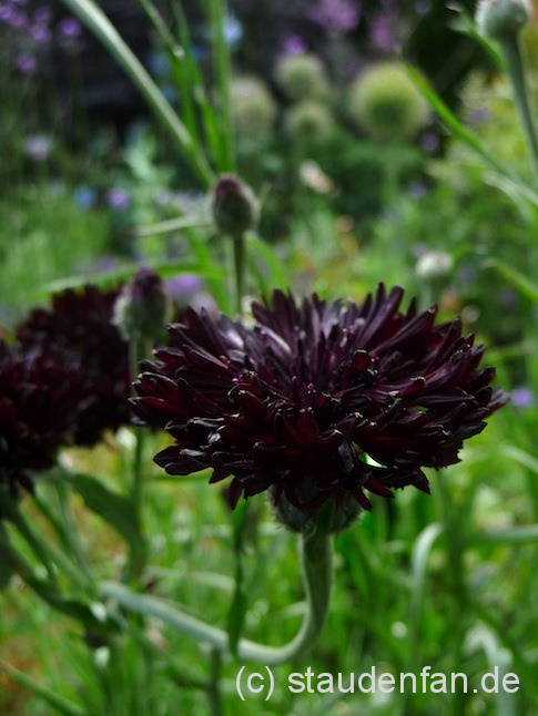 Centaurea cyanus 'Black Ball' 2