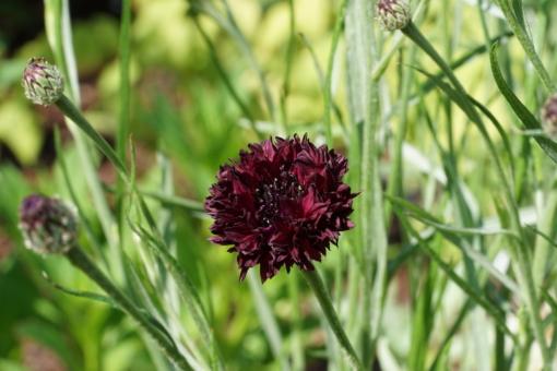 Die Kornblume Centaurea cyanus 'Black Ball' zu Beginn der Blütezeit.