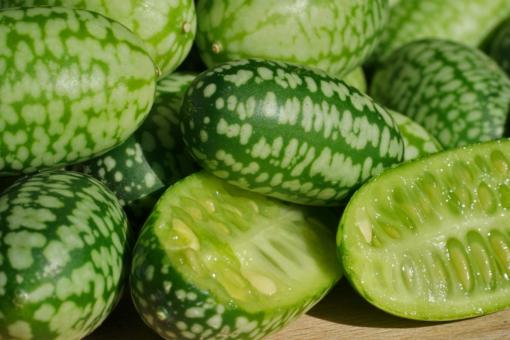 Die Mexikanische Minigurke (Melothria scabra) schmeckt lecker und ist knackig frisch.