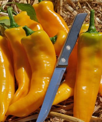 Die Paprika Doux Long d' Antibes stammt aus Frankreich und trägt auch bei uns im Freiland.