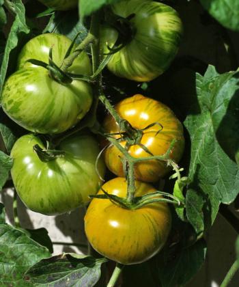 Die Tomate Green Zebra wird leicht gelblich wenn sie reif ist.
