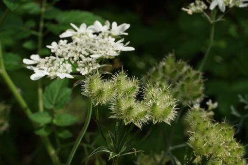 Die Samen von Orlaya grandiflora heften sich zur Verbreitung an Tiere