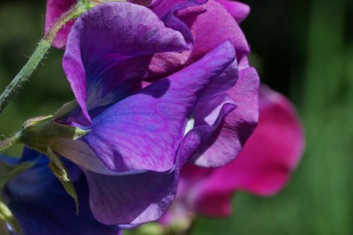 Die Edelwicke 'Blue Shift' ändert ihre Farbe von violett nach blau.