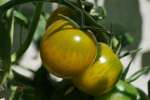 Die Stabtomate Green Grape.