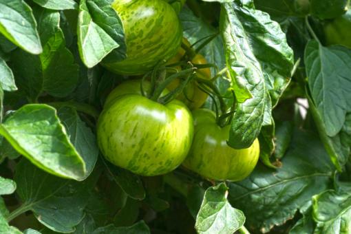 Die Tomate Green Zebra bringt viele große Früchte hervor.