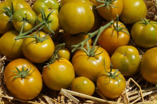 Die Tomate Lime Green bringt auch als Topfpflanze hohe Erträge.