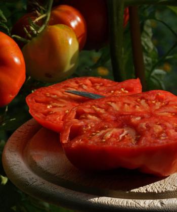 Die Tomate Lutschij is Lutschi bringt auch in schlechten Jahren gute Erträge.