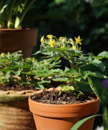 Micro Tom ist ein Bonsai unter den Tomatensorten und passt in die kleinste Blumenschale.