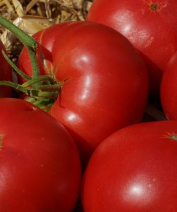 Die Tomate Missouri Pink Love Apple ist traumhaft aromatisch.