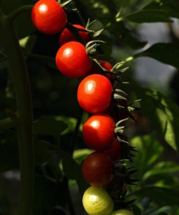 Die Tomate Spoon. Guter Ertrag, guter Geschmack.Die Tomate Spoon. Guter Ertrag, guter Geschmack.