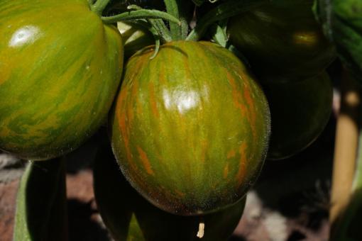 Die Tomate Victorias Smile kurz vor der Reife.