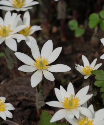 Die Wildform der Kanadischen Blutwurz (Sanguinaria canadensis) öffnet ihre Blütensterne im Frühling.