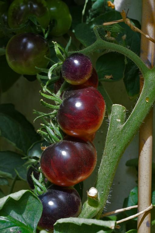 Die der Sonne ausgesetzen Tomatenseiten werden bei der Sorte Indigo Rose tief schwarzviolett.