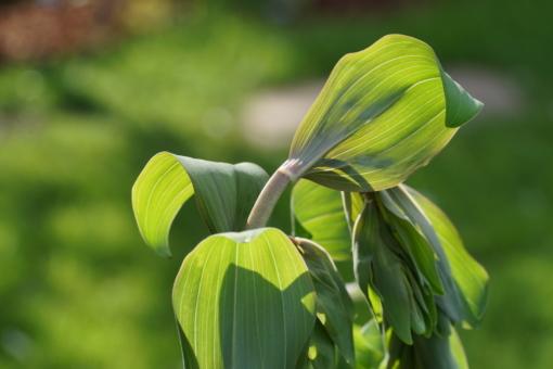 Die Blattstiele des Salomonssiegels Polygonatum multiflorum 'Ramosissima' sind rötlich überlaufen.