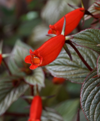 Seemannia x Little Red ist eine exotische Schönheit.