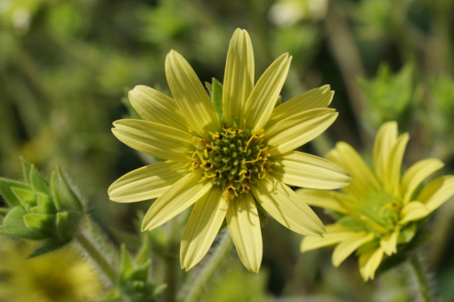 Die ganze Pflanze und sogar die Knospen von Silphium mohrii sind zottelig behaart.