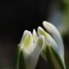 Die zarten und feinen Blüten des Schneeglöckchens Galanthus 'Elfin' zeigen zunächst nach oben.