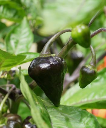 Die jungen Chilis von Golden Lantern sind vor der Reife gruenviolett.