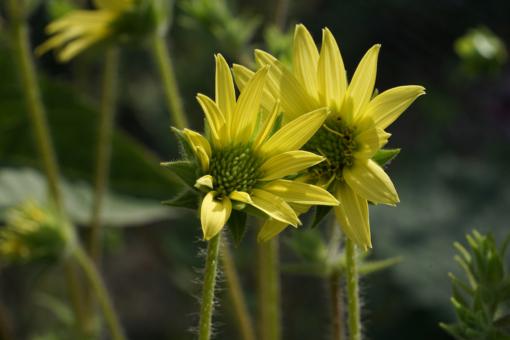 Die normale Form von Silphium mohrii ist mit ca. 100 cm Höhe extrem kompakt.