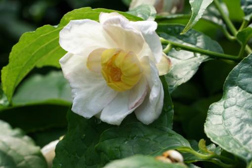 Die prächtigen Blüten von Calycanthus chinensis erscheinen im Mai und Juni.