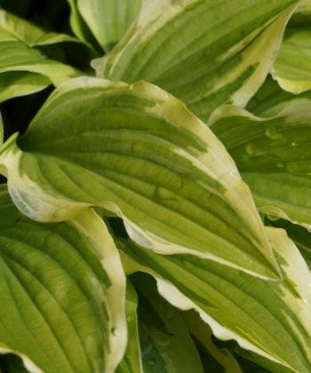 Die schmalen Blätter der Hosta 'Little Wonder'.