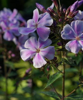 Phlox paniculata 'Fallschirmseide' hat fein gezeichnete Blüten und die auch noch herrlich duften.