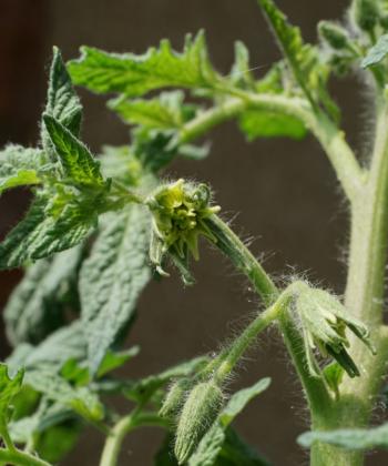 Die verwachsenen Blüten der Tomatensorte Copper River verraten schon, daß sich große Fleischtomaten entwickeln werden.