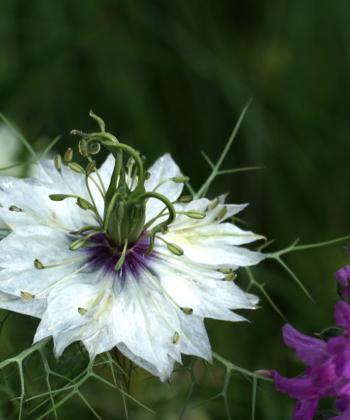 Die weissen Blüten der eigenen Nigella-Auslese zeigen eine violette Mitte.