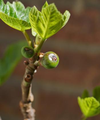 Diese kleinen Früchte beim Austrieb reifen bis zum Sommer zu saftigen Früchten heran, hier die Sorte Ficus carica 'Dauphine'.