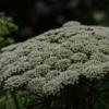 Doldenblütler wie Ammi visnaga Mystique sind momentan im Garten begehrt.
