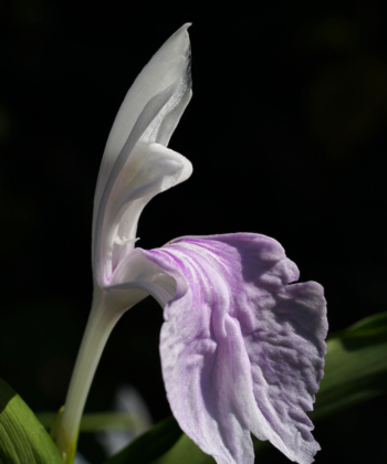 Durch Hanbestäubung sind wir in der Lage Roscoea purpurea HWJK2406 generativ zu vermehren und als einen