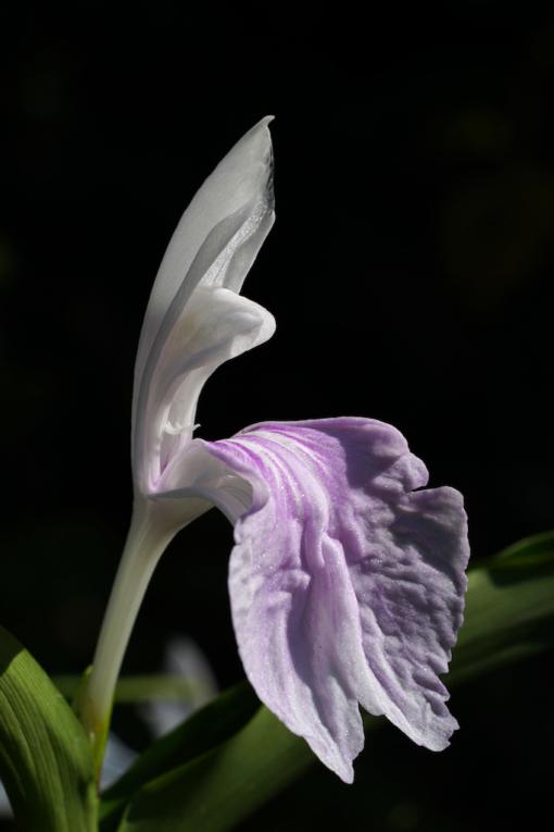 """Durch Hanbestäubung sind wir in der Lage Roscoea purpurea HWJK2406 generativ zu vermehren und als einen """"Strain"""" anzubieten."""
