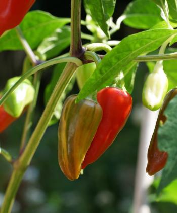 Durch das milde Aroma ist die Chili Fish Pepper vielfältig einsetzbar.