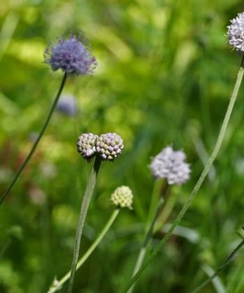 Die drahtigen Stiele und die runden Blütenstände der Wildpflanze Succisella inflexa (Moorabbiss) sind im Garten sehr effektvoll.