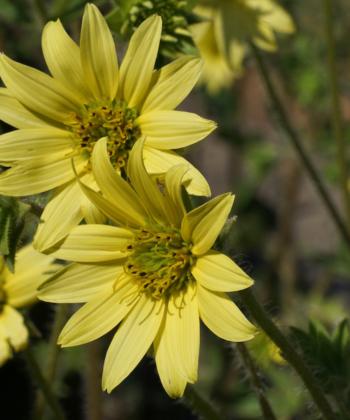 Wegen der sanften zitronengelben Blütenfarbe ist Silphium mohrii vielseitig im Garten verwendbar.