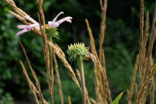 Echinacea purpurea CW2016250 mit Calamagrostis x acutiflora 'Karl Foerster'.