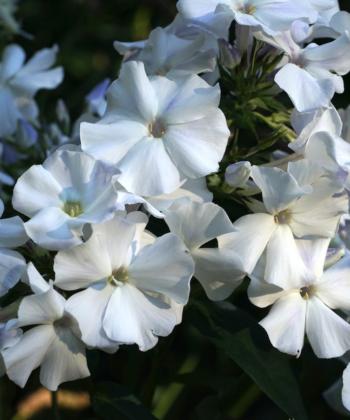 Ein feiner Phlox mit sehr subtiler Farbgebung: Phlox paniculata 'Schneerausch'.