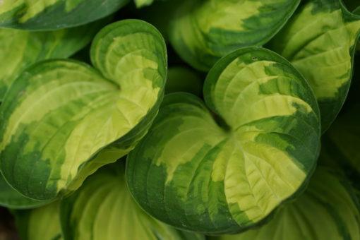 Eine prächtige Sorte mit becherförmigen Blättern: Hosta 'Warwick Delight'.