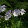 Primula sieboldii 'Dart Rapids' ist im Frühling ein Blickfang im Garten.