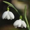 Galanthus 'E.A. Bowles' ist ein Schneeglöckchen der Superlative mit riesigen Blüten.