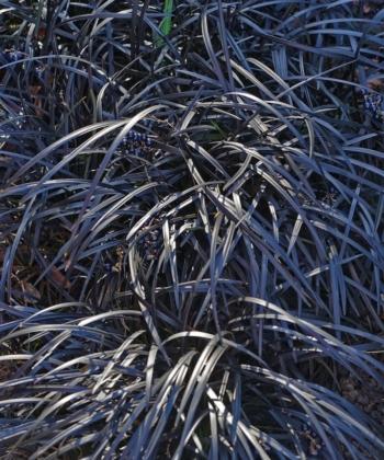 Ophiopogon planiscapus 'Nigrescens', der schwarze Schlangenbart, ist eine der wenigen Pflanzen mit schwarzem Laub. Die Pflegeleichten und dankbaren Pflanzen sind immergrün.