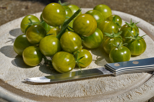 Eine schöne Tomate aus den USA: Grinch Cherry.