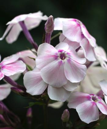 Gedrehte Blütenknospen und feines Spiel aus Farben: Beim Phlox 'Alabaster' ist jedes Detail sehenswert.