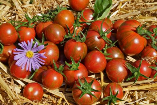 Empfehlenswert: die bunte Tomate Purple Bumblebee.