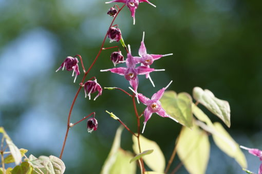 Epimedium grandiflorum 'Rubinkrone'.