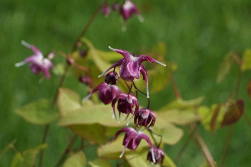 Epimedium grandiflorum 'Rubinkrone' ist eine bewährte Sorte von Ernst Pagels.