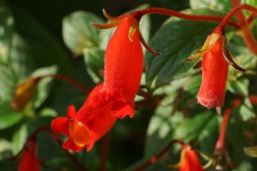 Blätter und Blüten von Seemannia nematanthodes Evita sind plüschig behaart.