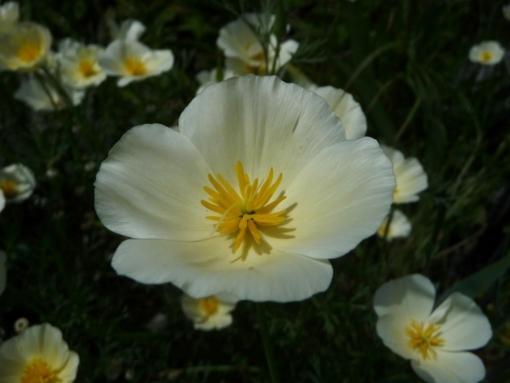 Eschscholzia californica 'White Linen' ist eine besondere Sorte des Kalifornischen Mohns: Die Blüten sind fast weiß.